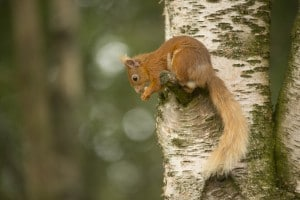 Red squirrel in the Cairngorms National Park, Scotland
