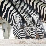 Hero_img_nam_zebras