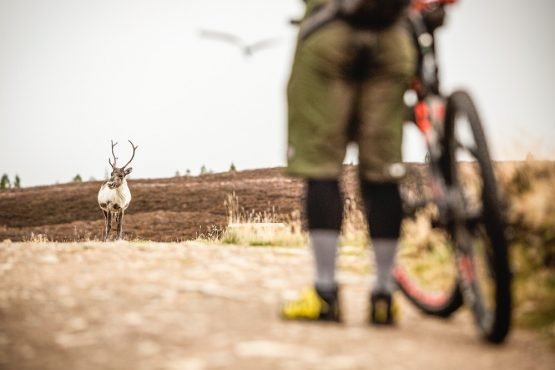 A rider meets a wild reindeer on the mountain bike trail in the Cairngorms on our mountain bike tour Cairngorms