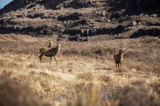 Stags in Torridon, coast-to-coast Scotland mountain bike tour