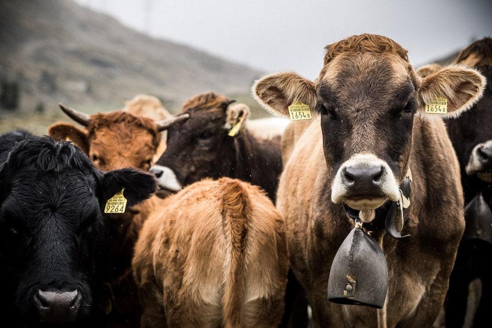 A cow traffic jam on the sigletrack of San Moritz, Switzerland, on our mountain bike tour Switzerland
