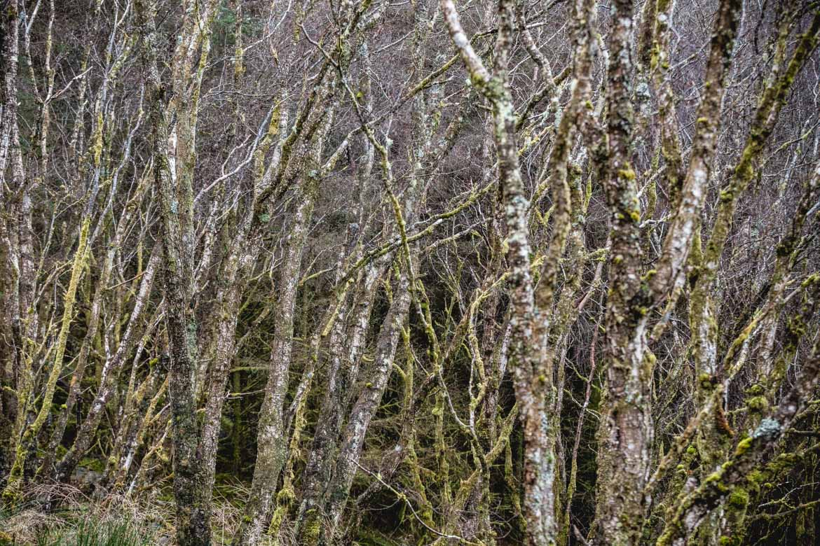 Silver birch trees in Torlundy, Fort William.