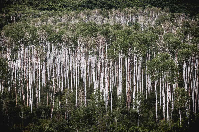 Aspen groves as seen on our mountain bike tour Colorado.