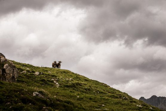 Two cows atop a hillside as seen on a E-MTB Tour In Switzerland