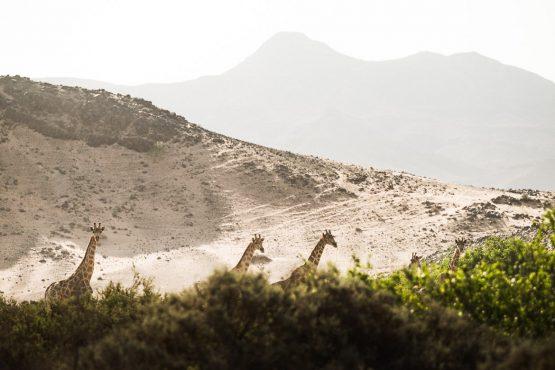 Spotting giraffes on a mountain bike safari tour Namibia