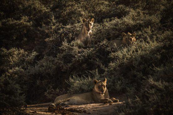 A lucky lion spot on a mountain bike safari tour Namibia